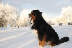 Бернский зенненхунд зимой