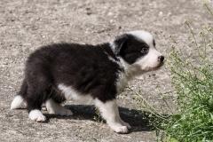 бордер-колли щенок