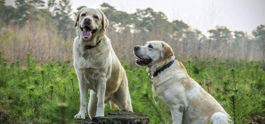 Какого пола выбрать собаку: кобель или сука?