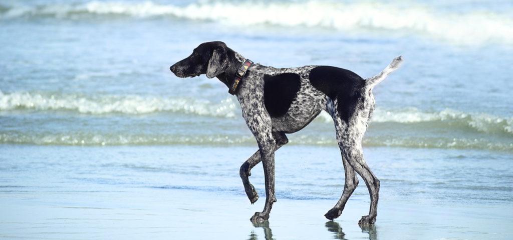"""Команда """"Гуляй"""". Как научить щенка или собаку команде Гуляй"""