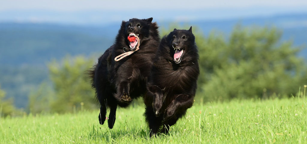 "Команда ""Апорт"". Как научить щенка и собаку команде ""Апорт"": голосом и жестом"