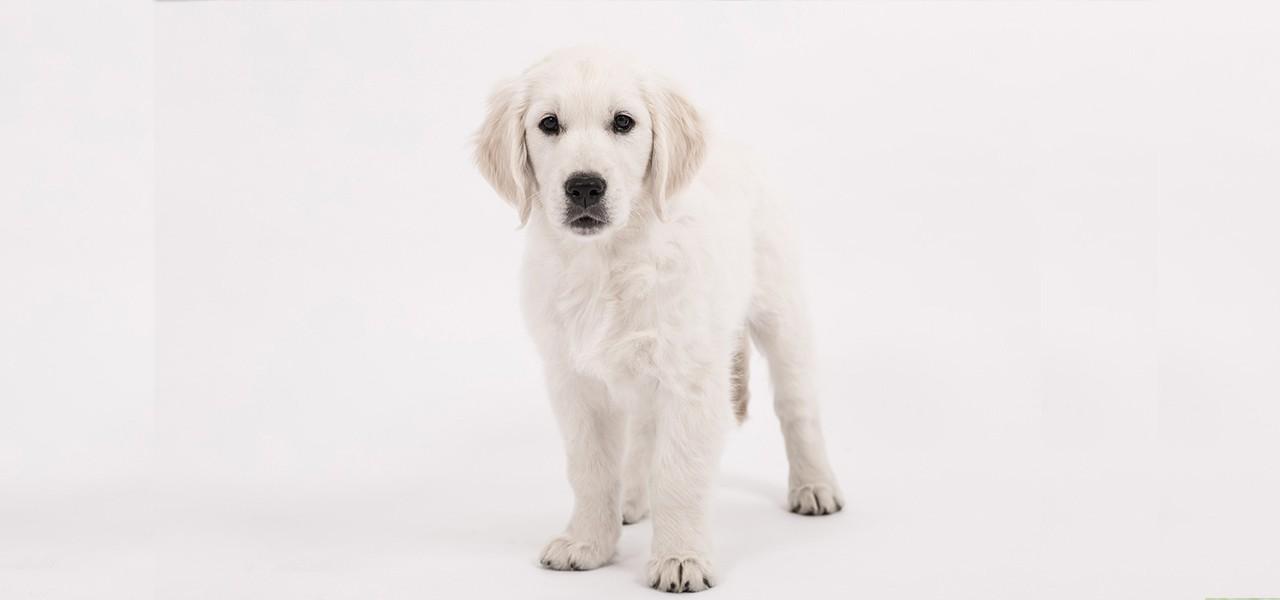 Как научить собаку и щенка команде Стоять: голосом и жестом