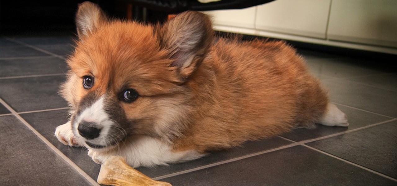 Вельш корги, поистине английская королевская порода собак. Это самая любимая порода британской королевы Елизаветы II.