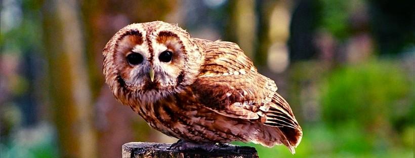 Домашняя сова