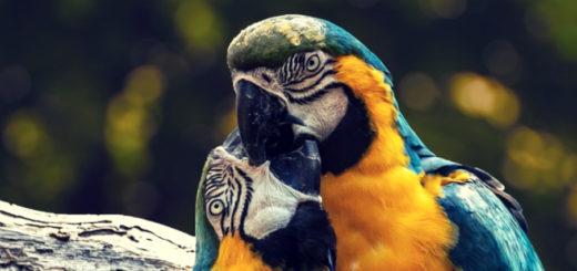 Нужно ли содержать попугаев парами