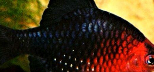 Барбус черный