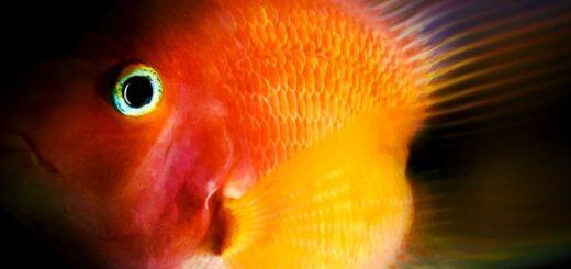 Красный рыба-попугай