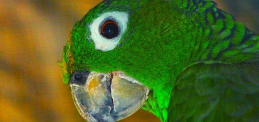 Попугай Амазон Мюллера