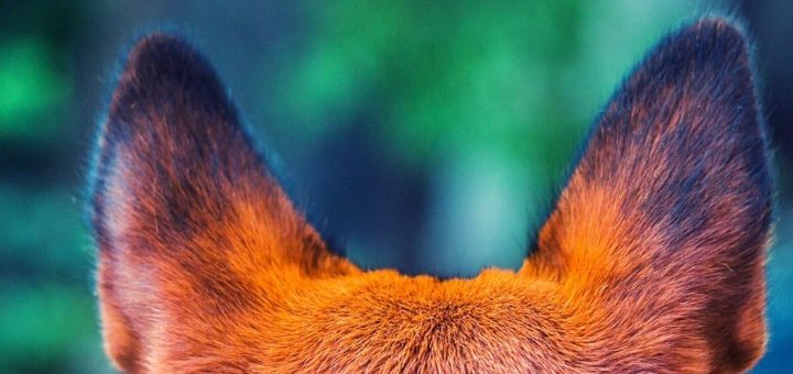 У собаки уши красные внутри и чешутся: причины, что делать